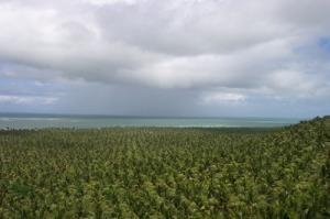 Kokospalmen-Monokultur